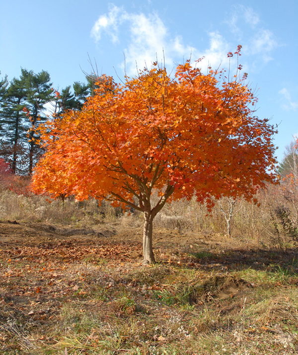 Korean Maple Great Hill Horticulture Foundation